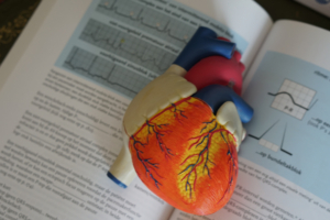Heart model to explain how the heart works to patients sitting on a text book